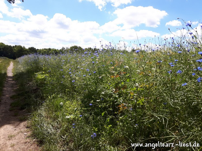 Blaue Mohnblumen in Grabau